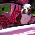 2015-Annual-Woofstock-Prescott-Valley-dog-in-stroller