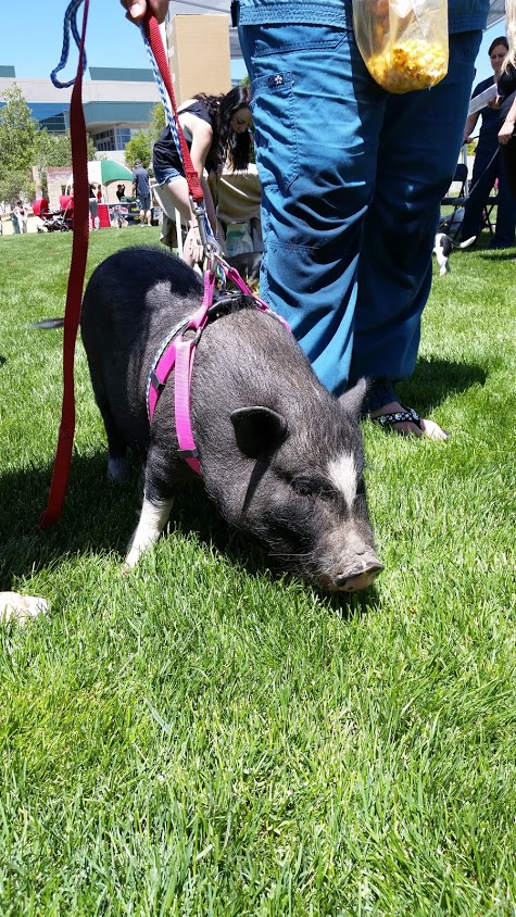 2015-Annual-Woofstock-Prescott-Valley-pig-on-leash
