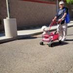 A small dog enjoying a ride in stroller