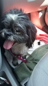Shih Tzu with dry eye