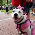 Pit Bull at Dog Days of Summer 2015 AZ