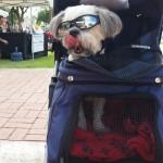 Shih Tzu wearing sunglasses Glendale AZ