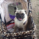 bark-in-the-park-2013-pug