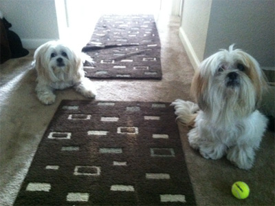 Lhaso Apso dogs