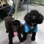 Poodles in custom at Camp Bow Wow Peoria AZ