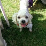Shih Tzu with mohawk at Barktoberfest 2014