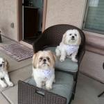 Dogs wearing July 4th bandanas