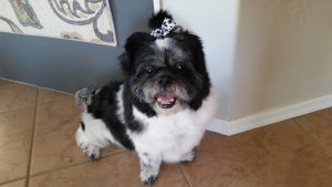 Shih Tzu Warrior On A Mission Of Love #cancerfightingninja