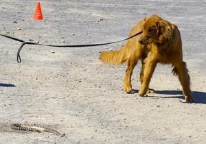 Dog training rattlesnakes