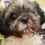 Benson, Shih Tzu, fighting against GME fundraising for treatment