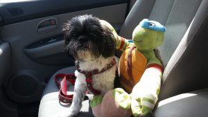 Farley, Shih Tzu is a cancer fighting ninja