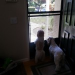 Mini Me and Fancy waiting for their Mom to return home