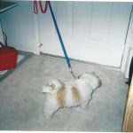 Mr MaGoo at six months knew what his leash was for.