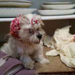 Vestibular disease in dogs