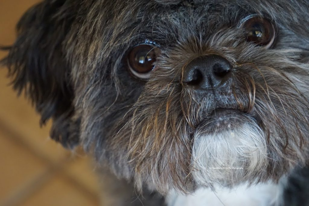 Peke-A-Tzu experiences separation anxiety, CBD oil is used to help alleviate stress and anxiety