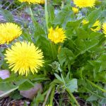 Dandelion leaves help dogs with digestive issues. Read more about this plant's amazing medical benefit.