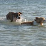 Dogs enjoy playing at the beach
