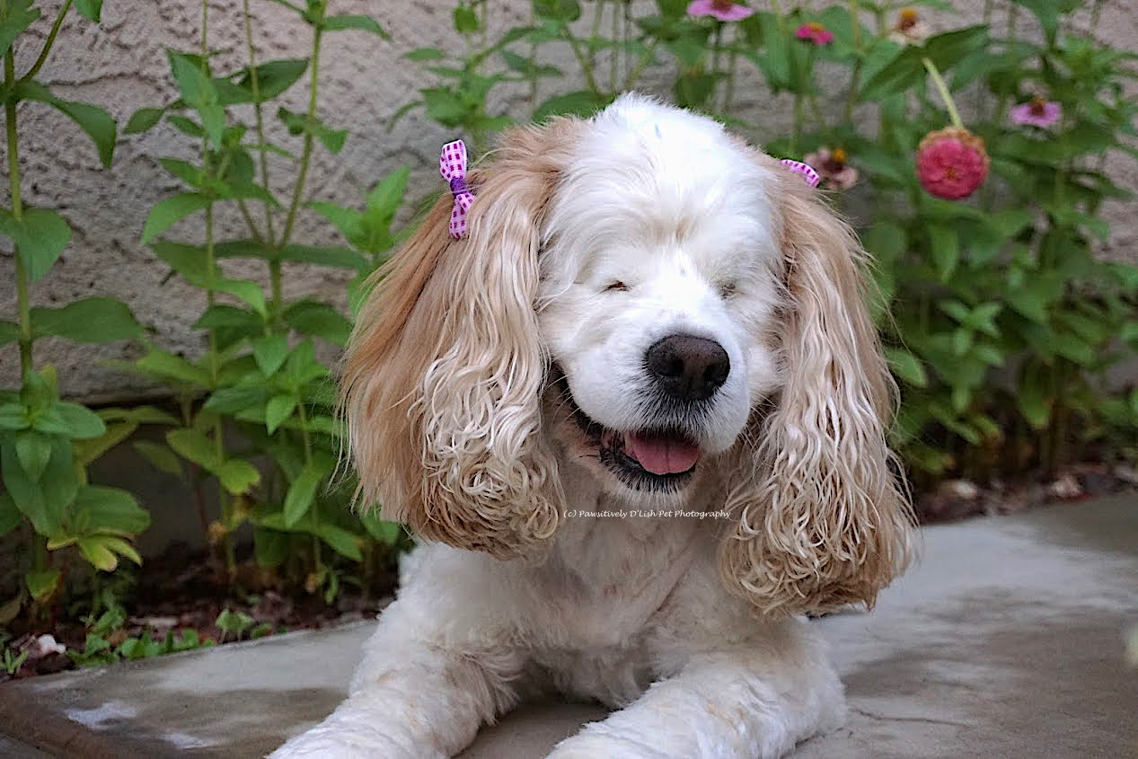 Spoil your senior dog, this blind Cocker Spaniel is certainly loved, happy and spoiled.