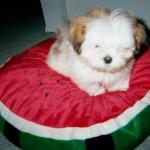 mr-magoo-puppy