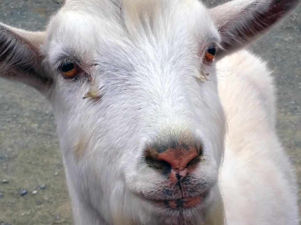 Raw Goat's Milk For Dogs